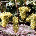 uva doña maria