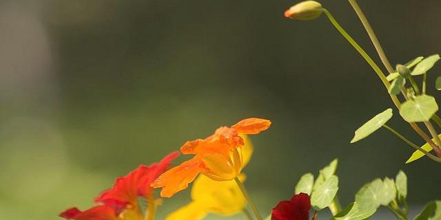 Flores comestibles: color, sabor y medicina en la mesa