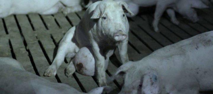 ¿Animales sanos, alimentos seguros?