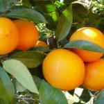 naranja-navel